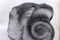 26th May 2020. Hall Palaeontology of New York, Fossil Shells